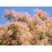 Europinis pūkenis - rožinis