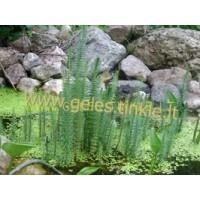PLUNKSNALAPĖ (Myriophyllum prosperpinacoides)