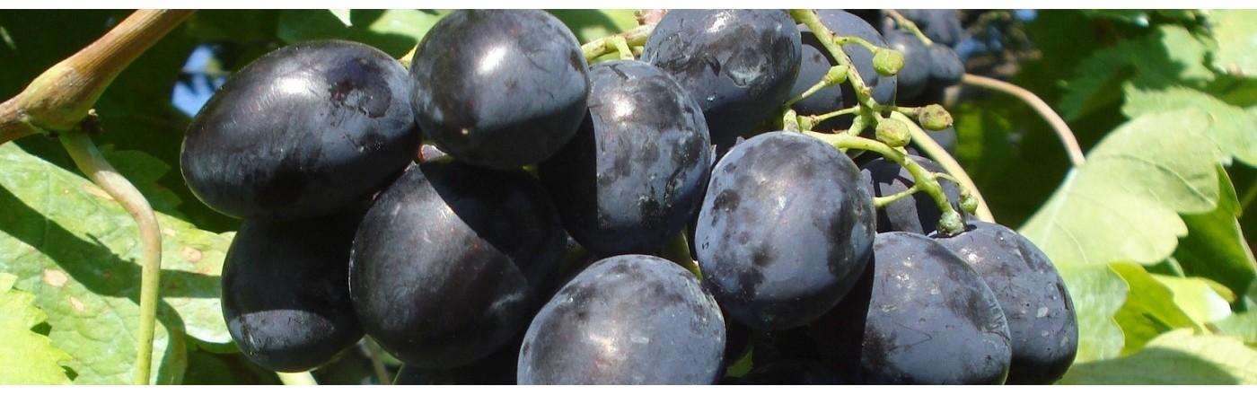 vynuoges_slides