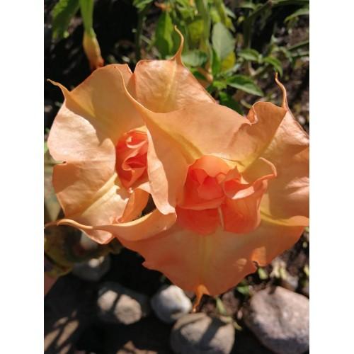 DATURA arba BRUGMANSIJA - 'IMPRISS' (Brugmansia suaveolens)
