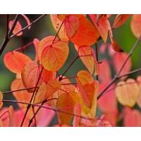 JAPONINIS PUOŠMEDIS (Cercidiphyllum japonicum)