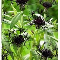 KALNINĖ BAJORĖ JUODA  'Black Sprite' (Centaurea montana)