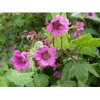 KVAPIOJI AVIETĖ (Rubus Odoratus)