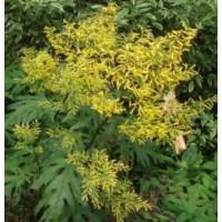 LIGULARIA TANGUTICA (Sinacalia tangutica)