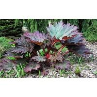 "PLAŠTAKINIS RABARBARAS ""Atrosanguineum"" (Rheum palmatum)"