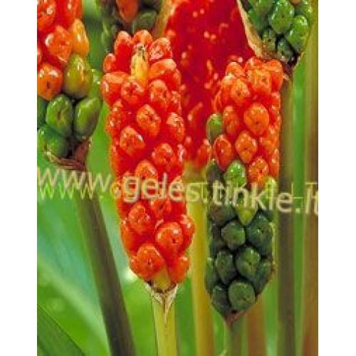 ARONAS ( Arum Italicum )
