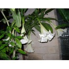 DATURA arba BRUGMANSIJA - Balta (Brugmansia suaveolens)