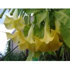 DATURA arba BRUGMANSIJA - Geltona (Brugmansia suaveolens)