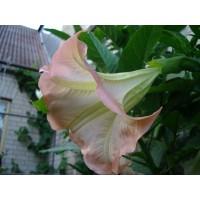 DATURA arba BRUGMANSIJA - Rožinė (Brugmansia suaveolens)