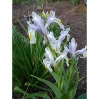 JUNONA (Iris Juno)