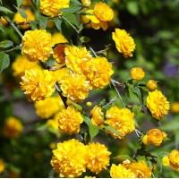 JAPONINĖ KERIJA (Kerria japonica)
