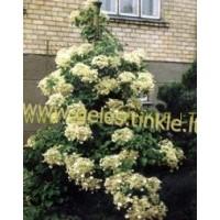 LAIPIOJANTI HORTENZIJA (Hydrangea Petiolaris)