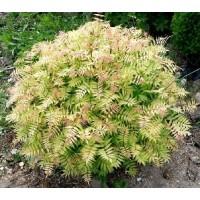Lanksvūnė šermukšnialapė ( Sorbaria sorbifolia )