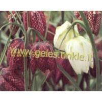 PAPRASTOJI MARGUTĖ ( Fritillaria Meleagris )