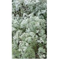 VAISTINIS PELYNAS (Artemisia absinthium)