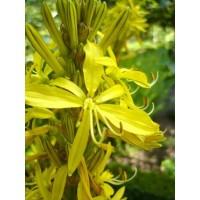 GELTONOJI  PLĖNUVĖ (Asphodeline lutea)