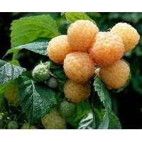AVIETĖ (Rubus idaeus)  'PORANNA ROSA'