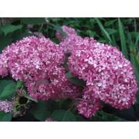"""HORTENZIJA """"ANNABELLE  PINK"""" (Hydrangea arborescens)"""