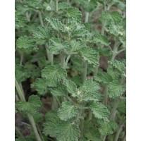 PAPRASTOJI ŠANTRA (Marrubium vulgare)