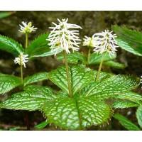 Japoninis žaliaubis (Chloranthus japonicus)